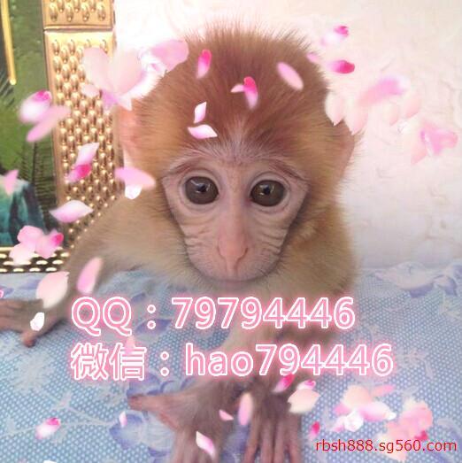 东莞哪里有宠物小猴子卖-纯种小猴子