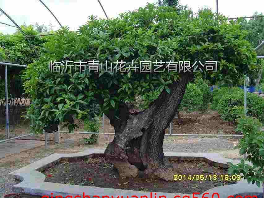 桂花大盆景,桂花树,黑松