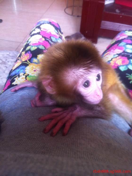 袖珍小猴子可爱图片