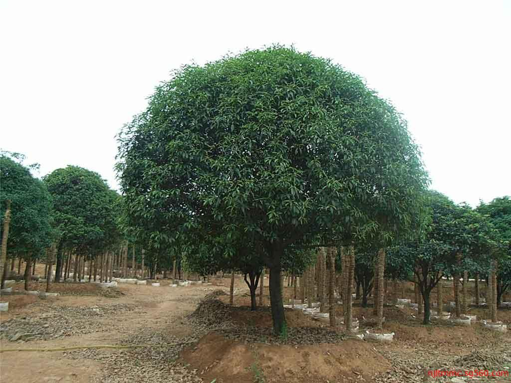 桂花苗木报价 优质桂花树价格 桂花价格多少?