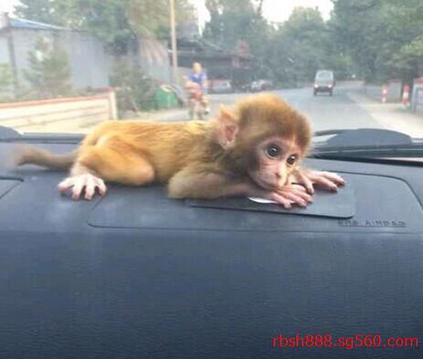 石猴卖吗_小猴子