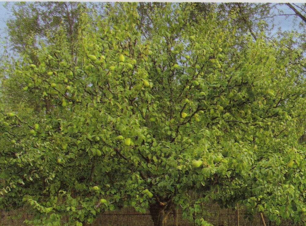 大木瓜树供应商——【荐】最好的大木瓜树价位 大木瓜树价格 大型木瓜
