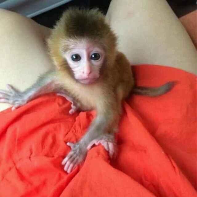 厦门哪里有宠物猴子卖?微信316097573 qq